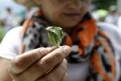 coca crops Colombia